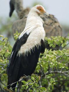 Palm-nut Vulture (vulturine fish-eagle)