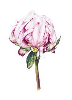 Flower Art Print, Single Peony, Large archival botanical print, Watercolor print, Botanical art, Peony print by BlueShedStudio on Etsy https://www.etsy.com/listing/480747330/flower-art-print-single-peony-large