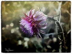 Take a Bow Thistle  Bowing  Flower   Weed  Purple  by Creatography