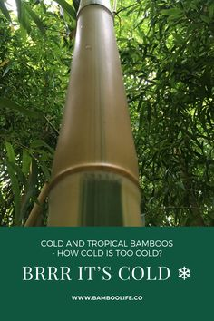 Some bamboos can withstand -20 F❄️❄️❄️ What about tropical clumping bamboos how cold is too cold? More information on growing sun-tropical and tropical bamboos. Clumping Bamboo, Bamboo Leaves, Tropical, Cold, Sun, Canning, Decor, Decoration, Decorating