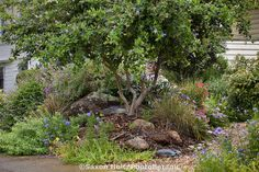 Ceanothus shrub planted on mound for added height privacy in small space drought tolerant front yard California native plant garden; pete veilleux design