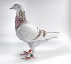 Red Bar (Silver, Mealy) Homing Pigeon on White