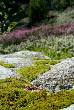 Brezal, Ericáceas, musgo | Brezal, Ericáceas, musgo moss. Jardín informal . Jardín con aire montano . Heather garden, rock garden.