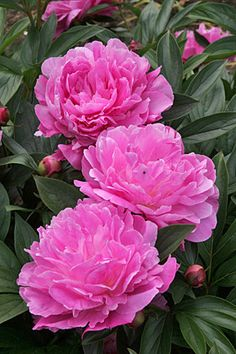 Cultivation notes: Herbaceous peonies differ from woody-stemmed tree peonies in that they die back to ground level every winter. The successful crossing of tree and herbaceous peonies by plant breeders produced intersectional (Itoh) hybrids. Lately they are more readily available, but still expensive.