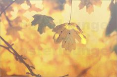 Tanja Riedel - Goldenes Herbst Blatt