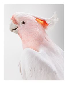 #LeilaJeffreys 'Matilda' Major Mitchell's Cockatoo, 2012, Photograph on archival fibre based cotton rag paper, Ed 6, 140 x 111 cm or Ed. 50 91 x 72 cm