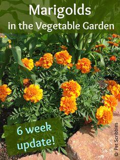 Marigolds in the Vegetable Garden: a six week update!