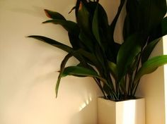 "Aspidistra: ""cast iron plant"" Window Plants, Hanging Plants, Cactus House Plants, Cast Iron Plant, Low Light Plants, Plant Guide, Bedroom Plants, Small Garden Design, Garden Fencing"