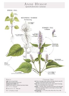 ANISE HYSSOP (Agastache foeniculum) Plant Identification page from our book Foraging & Feasting: A Field Guide and Wild Food Cookbook