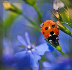Legend has it that crops in Europe during the Middle Ages were plagued by pests, so the farmers began praying to the Blessed Lady, the Virgin Mary. Soon, the farmers started seeing ladybugs in their fields, and the crops were miraculously saved from the pests. They named them Lady Beetles after the Blessed Lady.  In Germany, these insects go by the name Marienkafer, which means Mary beetles. The red color represents her cloak, and the black spots represent her sorrows.