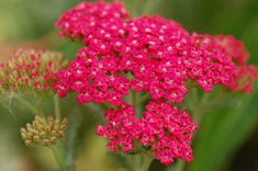 Achillea 'Rose Madder' : Grows on You Garden Pictures, Garden Photos, Achillea Millefolium, Picture Sharing, View Photos, Planting Flowers, Pregnancy, Plants, Colors