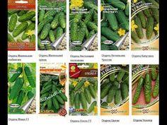 Семена огурца виды и сорта по видам, сезонам, ветвлению, пучкованию, кор...