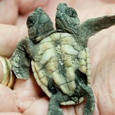 Double the turtle!