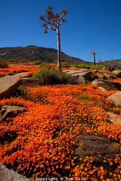 Namaqualand wildflowers,  Namaqualand, South Africa  a  One of the world's largest wildflower blooms  Dimropotheca sp.    Quiver tree  Aloe dichotoma