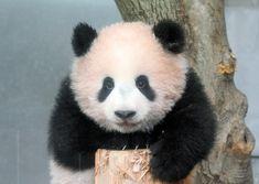 パンダのシャンシャン、観覧は抽選 ネット配信も準備:朝日新聞デジタル
