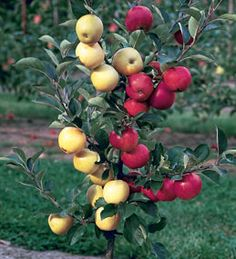 Multi Grafted Fruit Trees