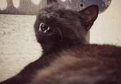 laughing cat