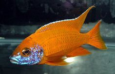 Image result for rubescens red peacock