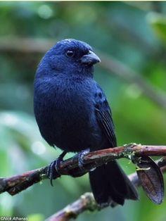 Blue seedeater, Amauro-spiza concolor aequa-torialis, a cardinal : Pichincha province, EC: @ Nick Athanas