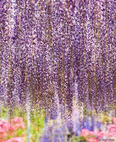 the most beautiful tree wisteria 9