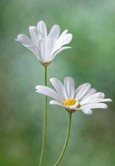 Las flores en el dormitorio de las parejas pueden aportar un toque romántico, una buena opción es  la Margarita: Simboliza la inocencia y la pureza