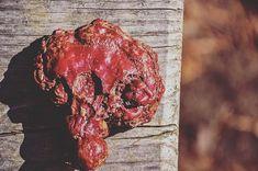 "The ""Mushroom of Immortality."" Just look at that deep red color and the wisdom behind this ancient mushroom. - @real_mushrooms . . . . #medicinalmushrooms #superfoods #adaptogens #wildfoodlove #plantbasedpower #veganfit #glutenfreefood #herbaltea #nourishing #digestion #guthealth #guthealing #skinhealth #liver #detoxify #detoxing #mentalhealthmatters #brainpower #immunity #longevity #antioxidant #lionsmane #mushroom #mushrooms #setas #lovesnature #mushroomlover #energypro #preventivemedicine…"