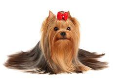 Yorkie    dog grooming - Google Search