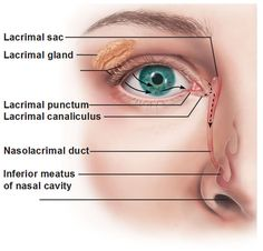 lacrimal-apparatus-includes-lacrimal-sac-gland-punctum-canaliculus-nasolacrimal-duct-inferior-meatus-of-nasal-cavity.jpg (580×556)