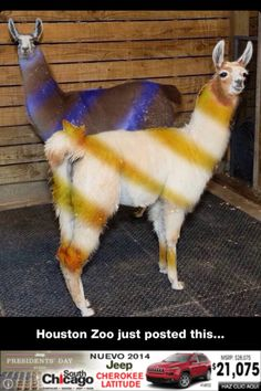 Blue and Black or White and Gold Llama Style