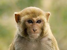 rhesus-macaque_0488.jpg (400×300)