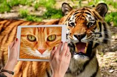 Animal Sorting for Special Education Silly Cats, Cute Cats, Funny Cats, Funny Tiger, Online Dating Profile, Sorting Activities, Zoo Animals, Colorful Pictures, Cat Love
