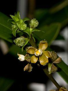 encyclia maculata
