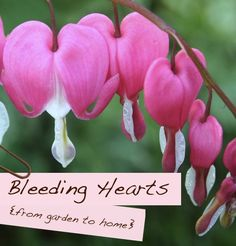 I was fasinated by bleeding hearts as a child - and well.... still am