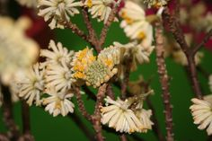 Plant of the Week 9 is Edgeworthia chrysantha, the soft, clove-like fragrance of which is  a welcome lift early in the year. This plant was photographed indoors at the Salon Vegetal in Angers, France, but it is a hardy shrub, ideal at a woodland edge with spring bulbs, with other winter flowering shrubs or in a mixed shrub and herbaceous border.  It needs a moist but well-drained humus-rich, loamy soil and a sheltered spot to do well. It is hardy only to about -5C to -7C. You know you want…