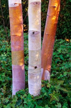 Chinese Red Birch. Betula albosinensis septentrionalis. 20' tall. Bark exfoliates from white to orange to pink.