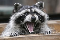 Masha, a female raccoon at the Royev Ruchey zoo in Krasnoyarsk, Russia. Most vertebrates yawn, including fish, crocodiles, birds and raccoons.
