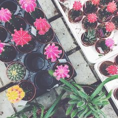 Can't get enough of these colourful little cacti #mooncactus #colourlover // @shopbicyclette on instagram
