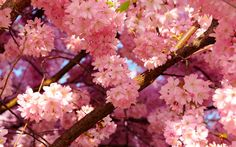 Hd cherry blossom wallpapers.