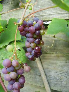 Nieuwe blog Michel - Etenstijd- De buren hebben geluk, de struik groeit door de schutting en er hangen ook prachtige trossen aan hun kant. #druiven Bekijk meer tips op www.tuinen.nl