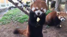 Le Panda roux Plus Cute Funny Animals, Cute Baby Animals, Animals And Pets, Cute Dogs, Cute Babies, Cute Animal Videos, Funny Animal Pictures, Red Panda Cute, Red Panda Gif