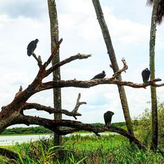 These #vultures know how to pick a feeding spot - right next to the hole full of #gators !!