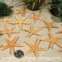 Dried natural starfish are perfect for decorating beach-themed reception tables, place cards and gifts.  Accent centerpieces, bouquets and garlands, etc. - wedding supplies - event decorations  http://www.yourweddingcompany.com