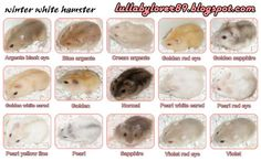 The coat colors of the Russian Campells Dwarf hamster