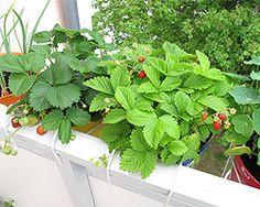 Erdbeeren auf dem Balkon