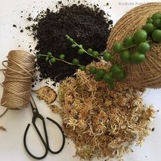 • BEHIND THE SCENES • This is what I need to make my kokedama beauties. It all starts with my soil, and water - I'm making mud! Next comes the sphagnum moss, then the twine, and it's finished off with my little echidna tag. It's a VERY messy business, but the end result is completely worth it! I'm a naturally neat and tidy person, but let me tell you, my little space where I make these is NEVER neat and tidy!