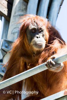 Sumatran Orangutan@Perth Zoo