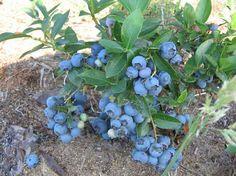 Fruit Tree Garden, Plants, Berries, Flowers, Paradise Garden, Native Plants, Garden Design, Garden, Grow Your Own Mushrooms