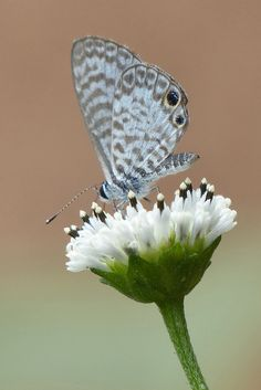 Cassius Blue Butterfly by Simon (celery) Marshall