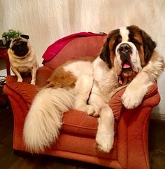 14 Reasons St Bernards Are Not The Friendly Dogs Everyone Says They Are Big Dogs, Large Dogs, Cute Dogs, Dogs And Puppies, Doggies, Extra Large Dog Breeds, Most Cutest Dog, St Bernard Puppy, Crazy Dog