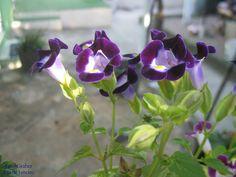 https://flic.kr/p/LQceH1   Flor   Pequenas flores de Curicica. Rio de Janeiro